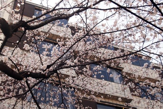 桜便り2 + Nobuko Nishida 展示会