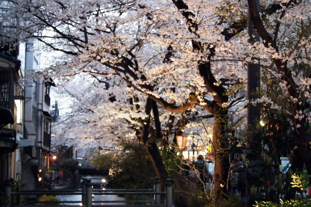 Cherry blossom, sakura season is about to come,,,